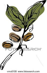 coffee bean plant illustration.  Coffee Coffee Beans On The Vine For Bean Plant Illustration