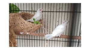 Salah satunya adalah burung kedasih atau biasa disebut emprit gantil oleh masyarakat jawa yang kerap dijuluki sebagai burung pencabut nyawa. Jenis Burung Emprit Dan Harga Hingga 2 5 Juta Per Ekor