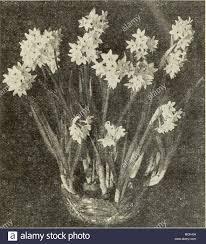 White Paper Flower Bulbs Paper White Polyanthus Narcissus Narcissus Polyanthus Large