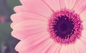 1920x1200 pink flower desktop wallpaper pink flower hd wallpaper pink flower