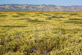 wildflowers bloom at carrizo plain national monument in san luis obispo county ca in april 2017