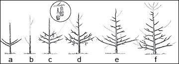 Chart Of Espalier Shapes  Espalier Services Via Atticmag Trees Fruit Tree Shapes