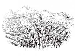 coffee plantation illustration. Exellent Coffee Coffee Plantation Landscape U2014 Stock Vector On Plantation Illustration L