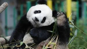 In China Giant Pandas Are Fleeing Their Habitats Because Of