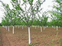 Bing Cherry Tree On The Tree Guide At ArbordayorgWhen Do Cherry Trees Bear Fruit