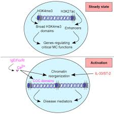 Genome Wide Analyses Of Chromatin State In Human Mast Cells