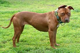 Pitbull Dog Years Chart American Pit Bull Terrier Wikipedia