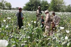 how opium fuels the taliban s war machine in the  how opium fuels the taliban s war machine in