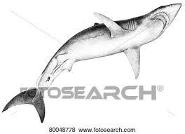 mako shark drawing. Unique Mako DEU 2008 Mako Shortfin Mako Shark Isurus Oxyrinchus Drawing With Drawing A
