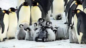 real baby penguins pictures. Unique Pictures Covered In Soft Fuzz Just Like A Real Baby Emperor Penguin It Is So  Convincing That The Chicks Huddle Around It As They Do With Each Other And Real Baby Penguins Pictures