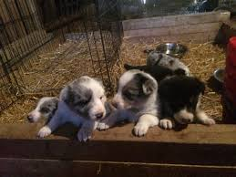 Blue Merle And Tri Coloured Border Collies For Sale In Llangernyw