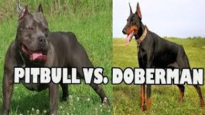 pitbull dog vs doberman.  Doberman PITBULL VS DOBERMAN FIGHT  Pitbull Dog Vs Doberman Intended Vs