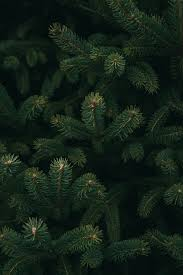 Christmas Pine Trees Wallpapers ...