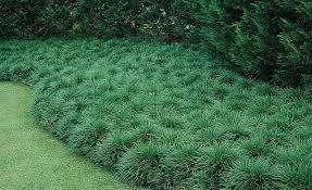 Image of: Dwarf Mondo Grass Style