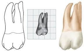 Maxillary Second Molar The Permanent Maxillary Molars Dental Anatomy Physiology And