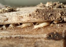 How to Get Rid of termites fast and naturally