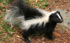 animal garden.  Animal Skunks On Animal Garden
