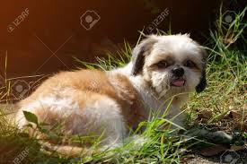 White And Brown Shih Tzu Dog With Long ...
