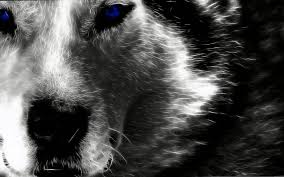 ➤ wolf wallpapers posted in animals category and wallpaper original resolution is 2560x1439px. Alpha Wolf Hd Wallpapers Alpha Wolf Hd Wallpapers Wolf Wallpaper Hd Wallpaper Wolf Images