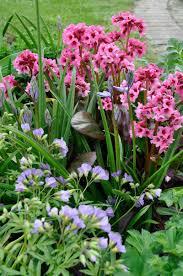 early spring perennials. Simple Perennials BERGENIA Inside Early Spring Perennials