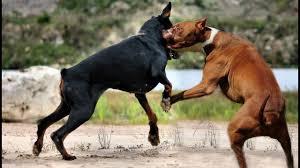 pitbull dog vs doberman. Unique Doberman Pitbull VS Doberman Intended Dog Vs YouTube