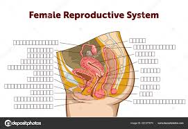 Female Reproductive System Chart Education Chart Of Biology For Female Reproductive System