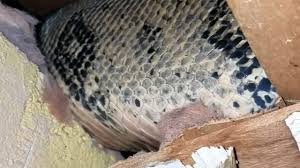 Image result for boa constrictor in attic