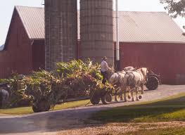 amish language sample amish country dutchman news mennonite  amish country dutchman news amish farmer chopping silage