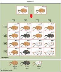 Hair Color Dominance Chart Epistasis Biology For Majors I