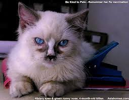 upper respiratory tract infection in a singapore ragdoll toa payoh vets