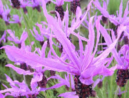 french lavender flaming purple
