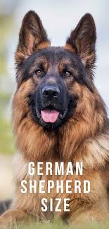 German Shepherd Size Growth Height And Weight