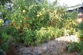 tomatoes straw bale gardening