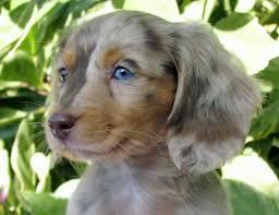 gina s cuddly miniature dachshunds