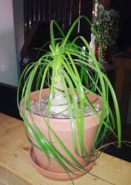 Ponytail Palm: How to Grow and Care for Ponytail Palms | The Old Farmer's  Almanac