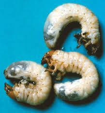 White Grubs Potato Ontario Cropipm