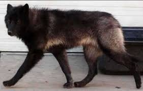 black german shepherd wolf hybrid. Unique Black As With All Dogs Wolf Dog Hybrids Respond Well To Proper Training With Black German Shepherd Hybrid P