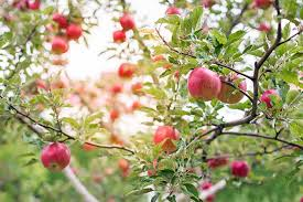 Fruit Tree Pollination Chart 19 Best Apple Tree Varieties With A Guide To Flowering