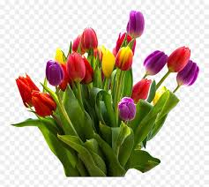 easter flower png hd tulips flowers