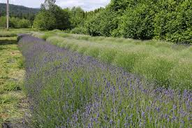 Fall City lavender farm set to bloom | Snoqualmie Valley Record