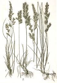 Festuca heterophylla - Wikipedia, la enciclopedia libre