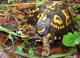 Eastern Box Turtle Care Sheet