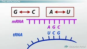 Codon Recognition How Trna And Anticodons Interpret The