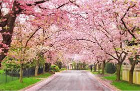 Bunga Sakura Taman Bunga Sakura Archives Jurnal By Pasarpolis Com