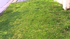 Grass Couch Couch Grass Couch Lawn Care Bermuda Grass Australia Removing