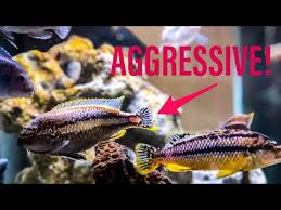 African Cichlid Aggression Chart How To Manage African Cichlid Aggression Youtube
