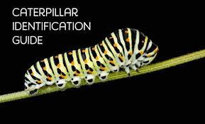 Yellow Caterpillar Identification Chart Caterpillar Types And Identification Guide Owlcation