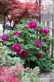 24 Best Vines For Containers  Climbing Plants For Pots  Balcony Climbing Plants That Like Shade