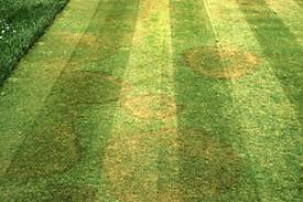 Brown Patch Disease Rhizoctonia Diseases Of Turfgrass