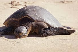 A Turtle On Laniakea Beach Turtle Beach On The North D869_28_518